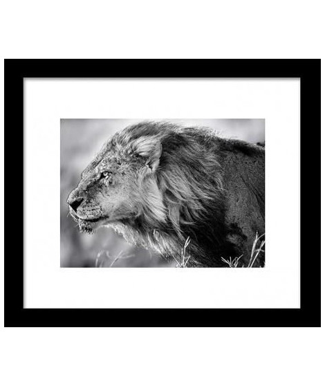 Image encadrée Lion B and W 28x33 cm gris